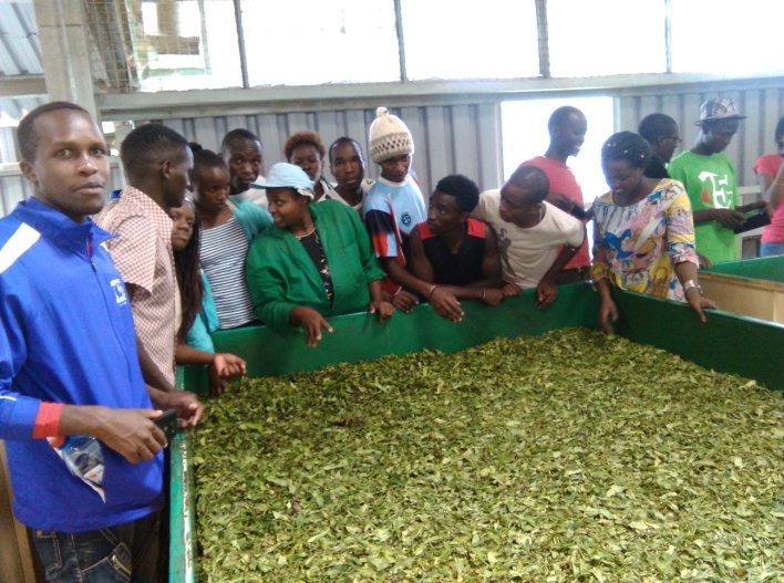 Students get the feel and smell of fermented tea
